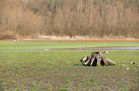 revealed: old stump on the revealed bottom of dry pond covered with grass Stock Photo