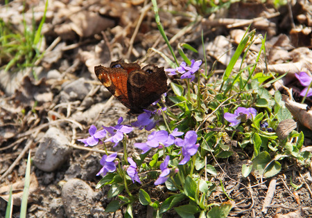 peacock butterfly: peacock butterfly feeding on purple blooms of wood violets