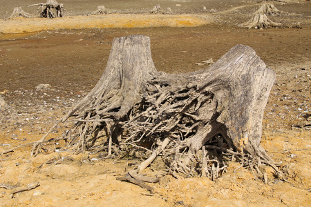 revealed: stumps of dead trees with revealed roots on the bottom of dry pond Stock Photo