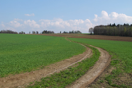 agronomic: path leading in the green fields with crop in spring