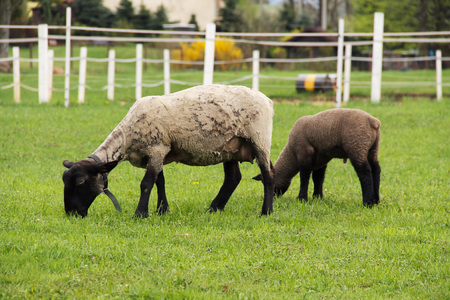 cuteness: sheep with its lamb pasturing on the green grass in spring Stock Photo