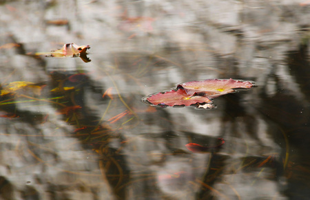 waterlilly: red leaves of water lilly on the clean water surface Stock Photo