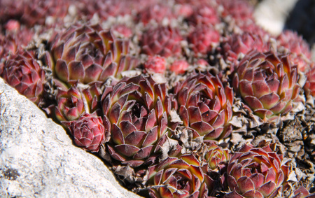 purple plants: several succulent red and purple plants of rolling hen-and-chicks