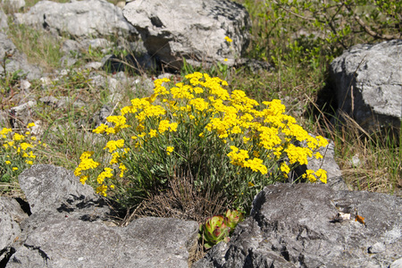 golddust: bunch od bright yellow blooming goldentuft alyssum on the rock