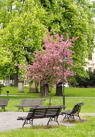 nook: some benches and blooming pink cherry tree in the park in spring Stock Photo