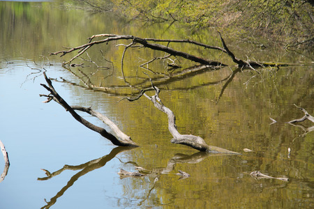 peeping: crooked branches of dead trees peeping out from the water Stock Photo