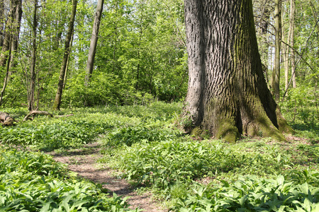 huge tree: narrow path around the huge fat trunk of and old tree and some green plants in the forest in spring