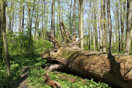 huge tree: rotting trunk of a huge old fallen tree in the forest in spring