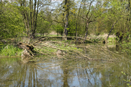 reflecting: pond in Poodri, Czech Republic with fallen willow tree reflecting on the calm water surface