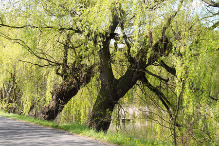 dyke: big old willows growing on the dyke of a pond in Poodri, Czech Republic