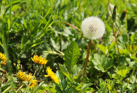 fluff: one dandelion with fluff and some other ones still blooming Stock Photo