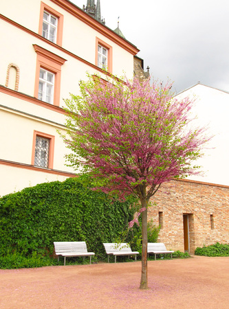 recess: Nice recess in Brno, Czech Republic with blooming cherry tree and white benches under the old house Stock Photo