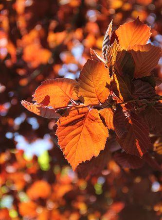 albero nocciola: foglie colorate di nocciolo illuminati con il sole Archivio Fotografico