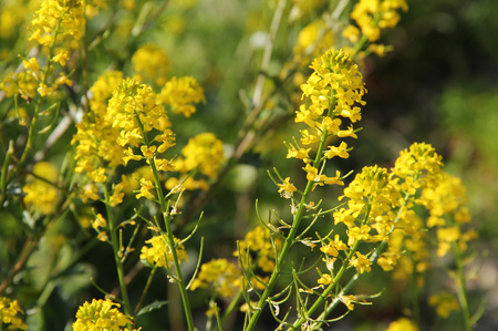 napus: close photo of yellow blooms of rapeseed (Brassica napus)