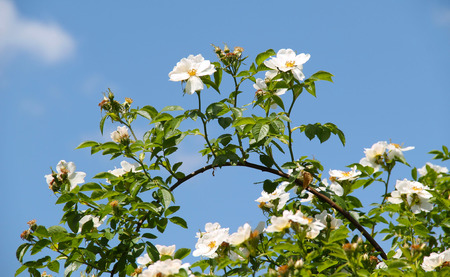 ornamental shrub: twig of eglantine with beautiful white blooms and blue sky