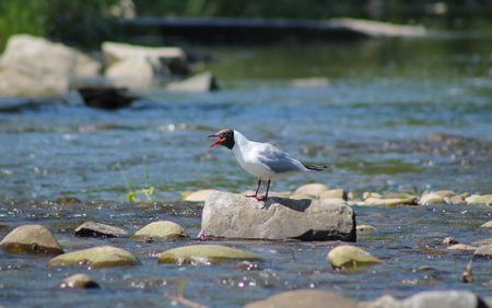 standing stone: seagull standing on the stone in the river and calling Stock Photo