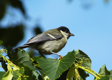 parus major: great tit (Parus major) on the branch of a lime tree
