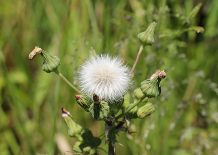 hieracium: close photo of hawkweed with white fluff Stock Photo