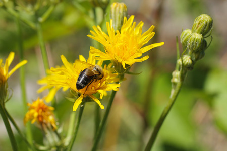 hawkweed: close photo of a bee on the hawkweed with bright yellow blooms