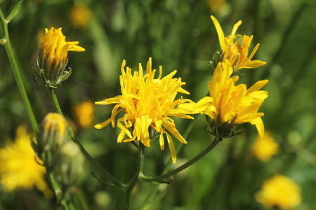 hawkweed: close photo of hawkweed with bright yellow blooms