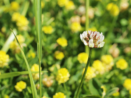 trifolium: close photo of white bloom of trifolium and some blurred yellow flowers at the background