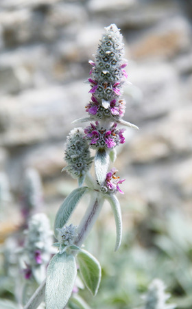 shaggy: close photo of woolly hedgenettle with shaggy white leaves and small purple blooms