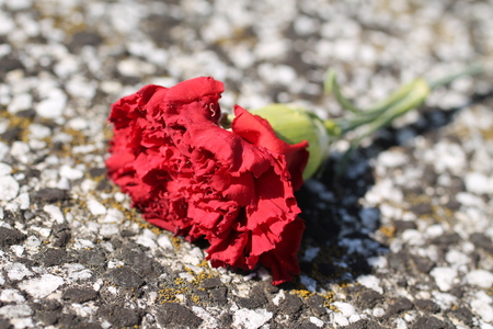 close photo of red gillyflower lying on the ground Stock Photo