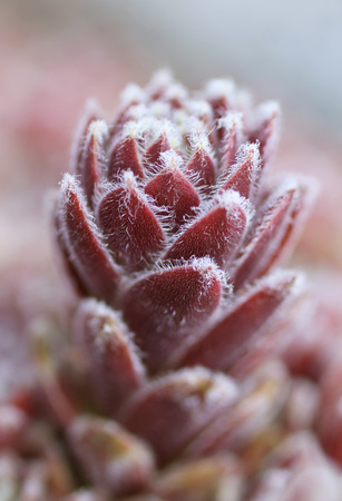 shaggy: close photo of purple shaggy cultivar of succulent plant rolling hen-and-chicks