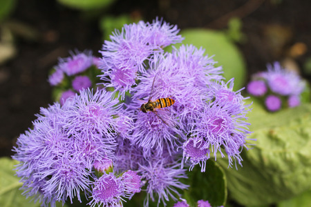close photo of a hoverfly feeding on the purple bloom of a flower Stock Photo