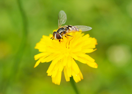 close photo of a hoverfly feeding on the yellow bloom of hawkweed