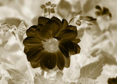 ochre: close negative photo beautiful bloom of Chrysanthemum in ochre tones