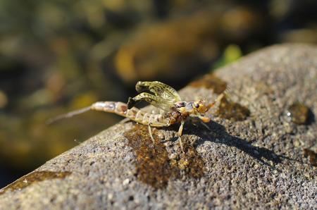 ephemera: close photo of adult mayfly (Ephemera vulgata) on the stone Stock Photo