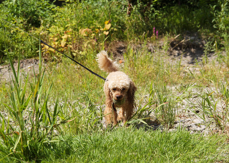 animal welfare: cute beige poodle carrying a ball in its mouth