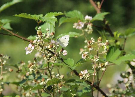 pieris: the small white butterfly on the blooming twigs of bramble Stock Photo