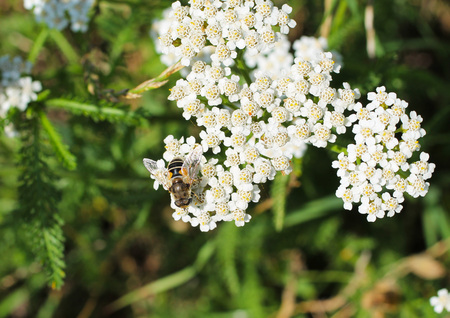 close photo of a hoverfly feeding on the bloom of ground elder Stock Photo