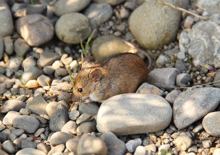 cuteness: cute striped field mouse on the pebbles Stock Photo