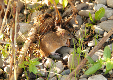 cuteness: cute striped field mouse eating piece of biscuit