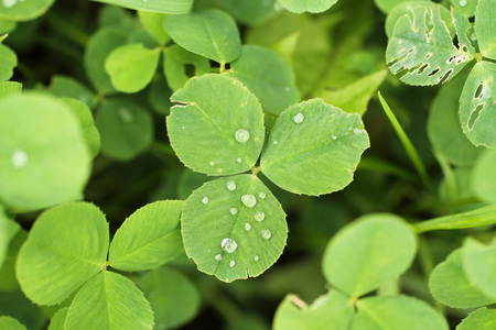 close photo of clover leaf with drops of water Stock Photo