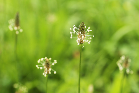 plantain herb: close photo of several blooming narrowleaf plantains, some of them blurred Stock Photo