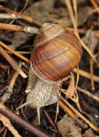 edible snail: close photo of edible snail (Helix pomatia) on the move across some sear plants and twigs