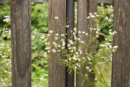 lanceolatus: blooming panicled aster growing next to the old wooden fence Stock Photo