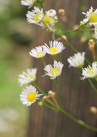 lanceolatus: close photo of blooming panicled aster