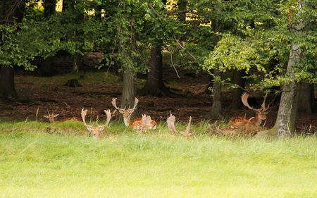 herd of deer: herd of fallow deer lying and relaxing on the edge of forest