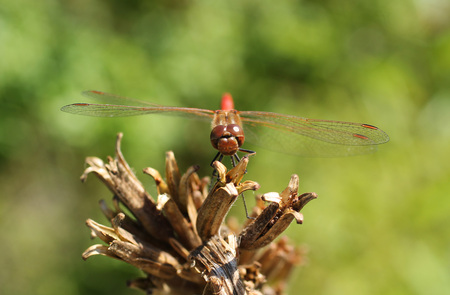 crimson colour: close photo of big red dragonfly on the sear plant