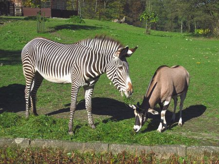 zebra and east african oryx pasturing together Stock Photo