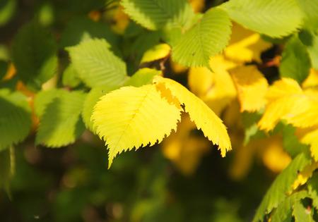 albero nocciolo: vicino foto di foglie gialle e verdi di nocciolo in autunno