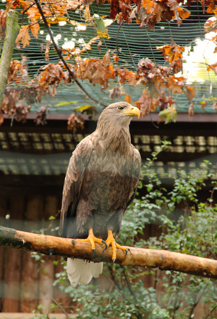 sea eagle sitting on the branch in the aviary and orange leaves on the branches above it in autumn