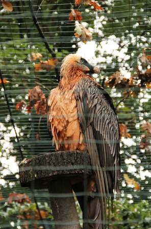 bearded vulture sitting in the aviary and orange leaves above it in autumn