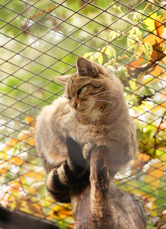 captive wildcat sitting on the branch of tree in the cage in autumn
