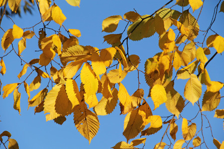 yellow alder: twigs of alder with bright yellow leaves and blue sky